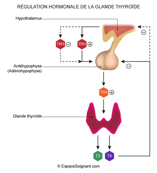 Régulation hormonale de la glande thyroïde